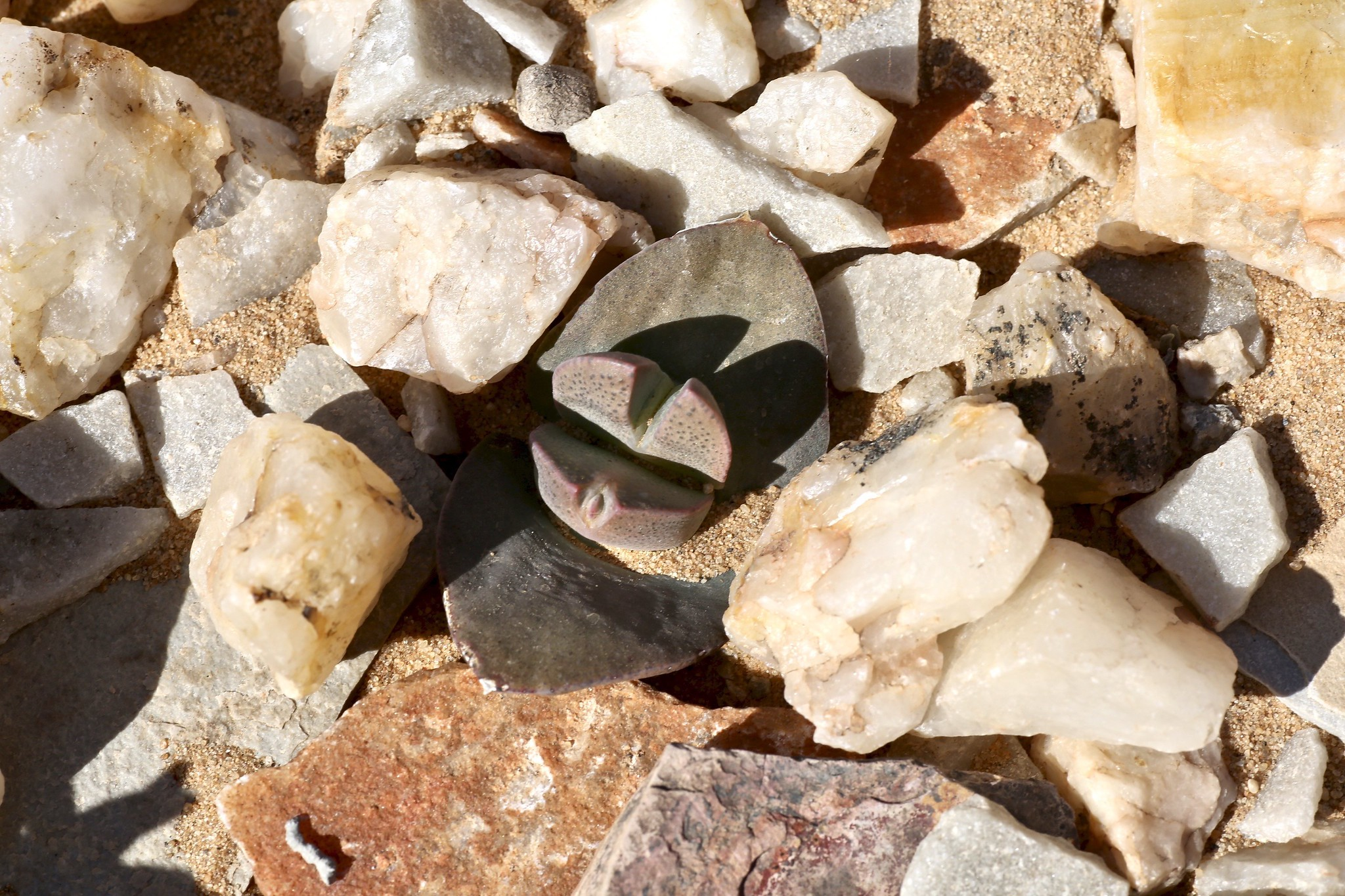 Cheiridopsis peculiaris (Aizoaceae)