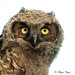 Great-horned Owlet by Angie Vogel Nature Photography