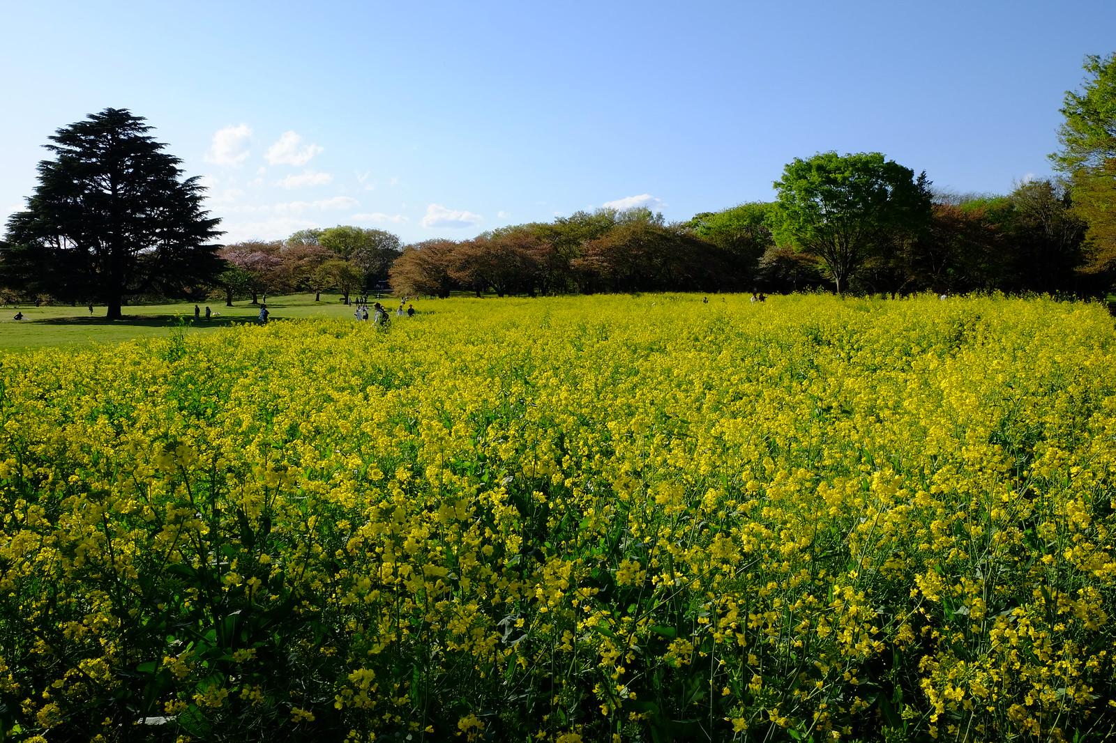 昭和記念公園 油菜花田