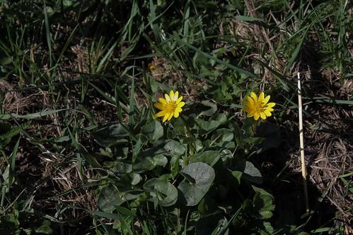 Ficaria verna (= Ranunculus ficaria) - ficaire - Page 2 40894971704_07ac816577