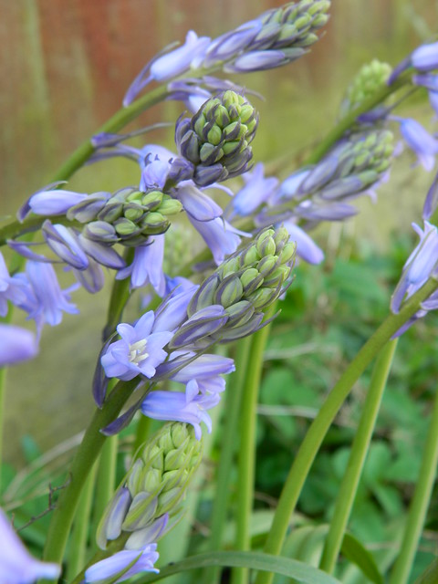 Is this Scary Spanish Bluebell?
