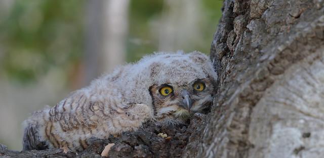 Great horned Owlet (Bubo virginianus) Being