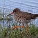Redshank - Elmley Marshes IMG_3902