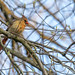 Female Cardinal in our maple tree