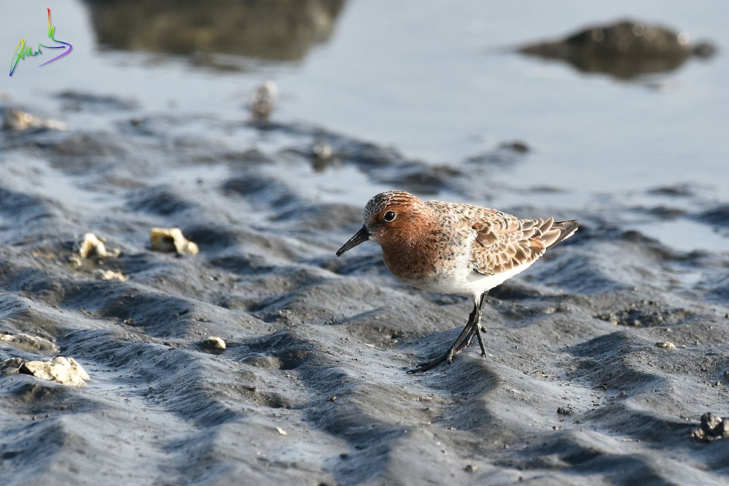 Red-necked_Stint_1548