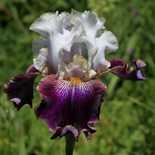 Iris 'Filigrane' - J-C. Jacob 2012 41595940775_171d019e44