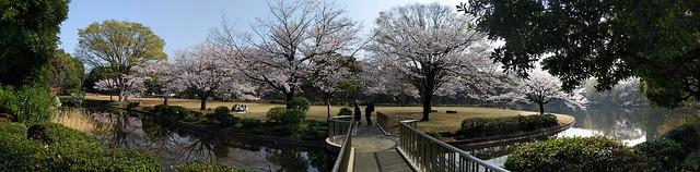 Cherry Blossom Panorama