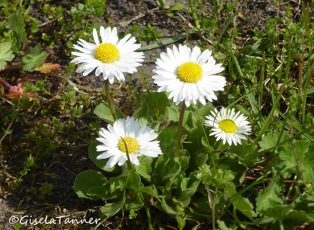 Wildblumen Gänseblümchen