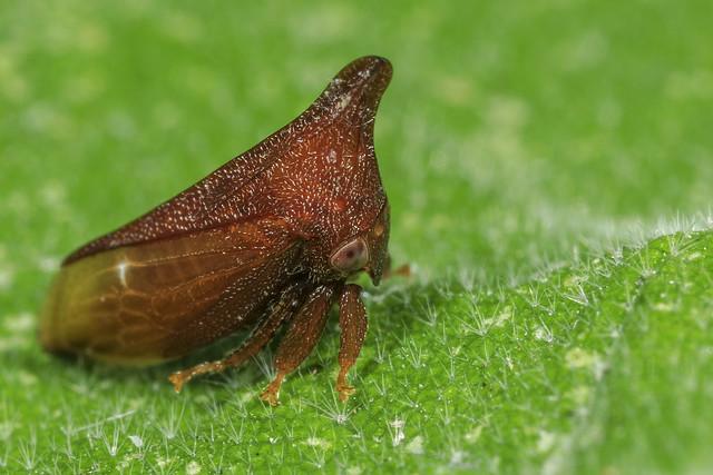 Membracidae gen. sp. 2018.05.21