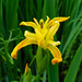 Flag iris, Northycote Farm