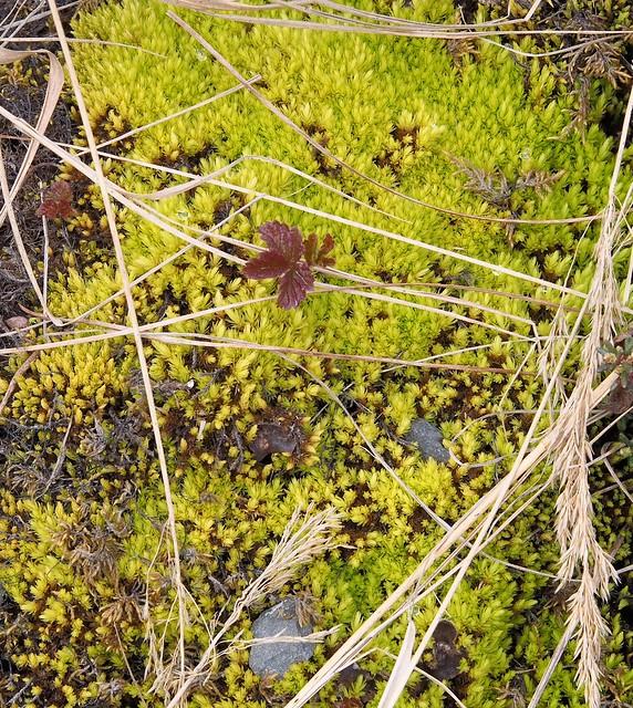 Tundra Vegetation, Spring 2018, Olympus E-M1, Sigma 60mm F2.8 DN | A