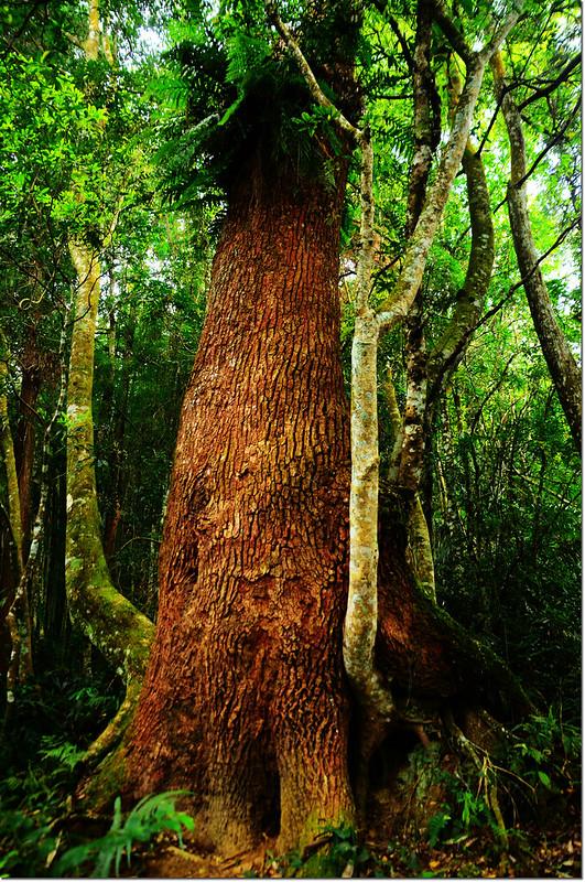 牛樟巨木 1