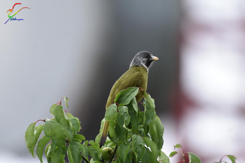 Finch-billed_Bulbul_9708