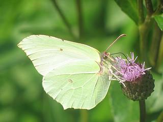 Gonepteryx rhamni ♀ - Common brimstone (female) - Лимонница (самка)