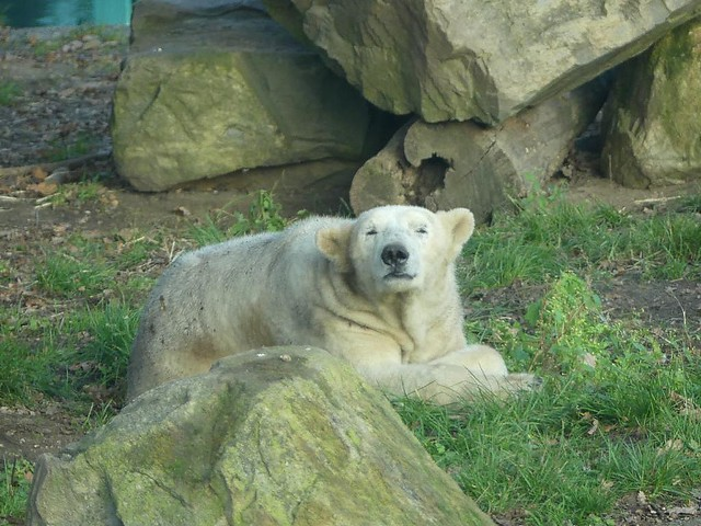 Eisbär, Ouwehands Dierenpark Rhenen