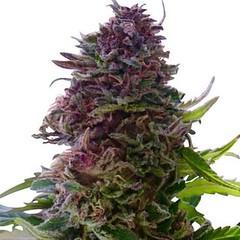 granddaddy-purple-seeds-fem_large