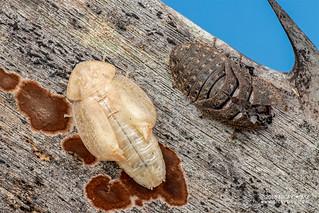 Cockroach (Derocalymma sp.) - DSC_2800