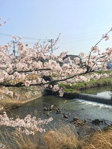3月28日 矢那川の桜