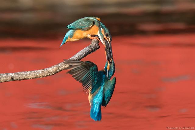 20180331-kingfisher-DSC_0763