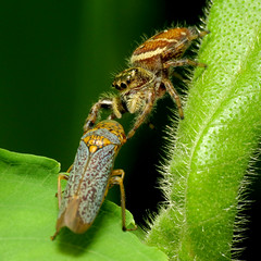 Jumping Spider preying on Sharpshooter