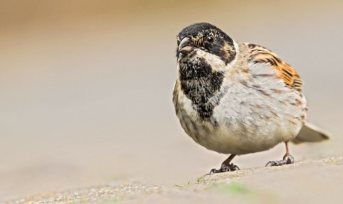 Reed Bunting.