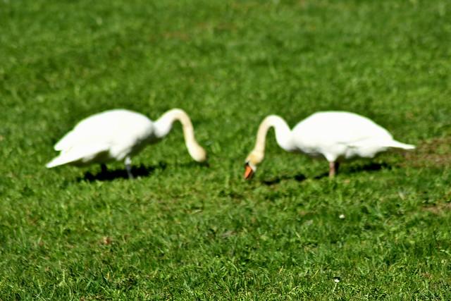Schwäne - Cisnes - swans [explore excplored April 2018]