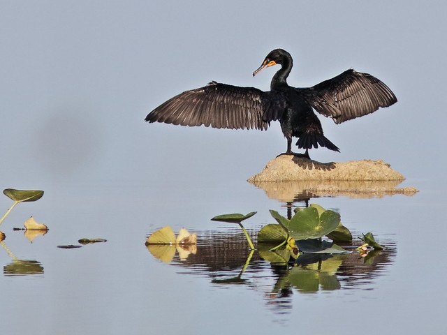 Double-crested Cormorant 02-20180414