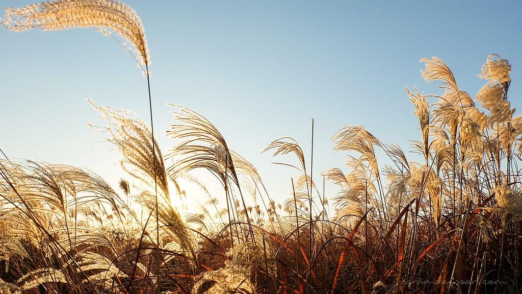 silver_grass_haneul_skypark_autumn