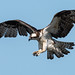 Osprey of the Jersey Shore | 2018 - 27