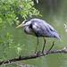 IMG_1389 Grey Heron