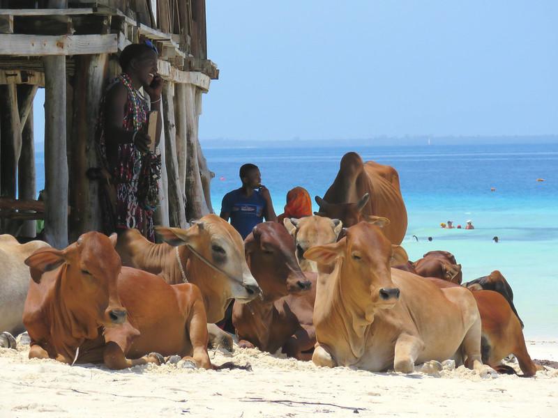 Zanzibar vacas playa 2