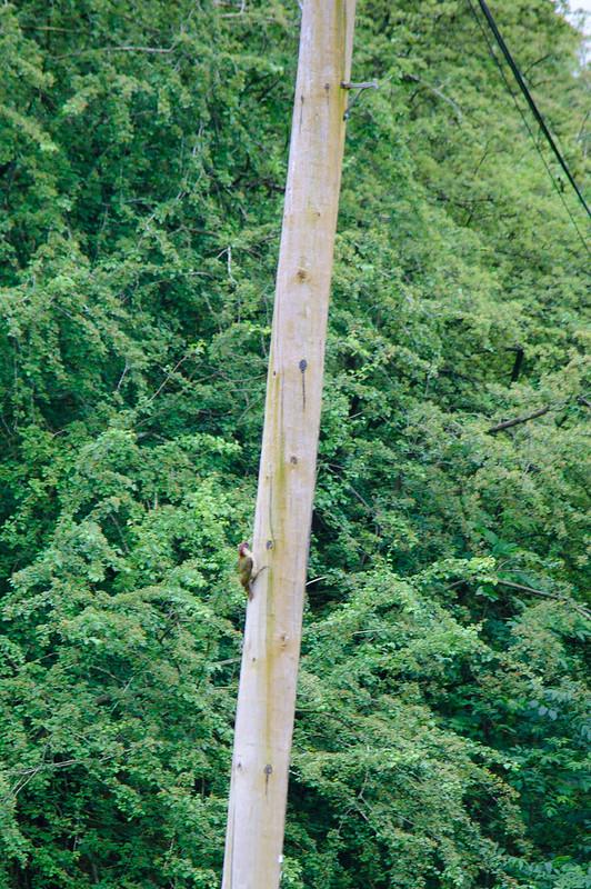 Green woodpecker on telegraph pole
