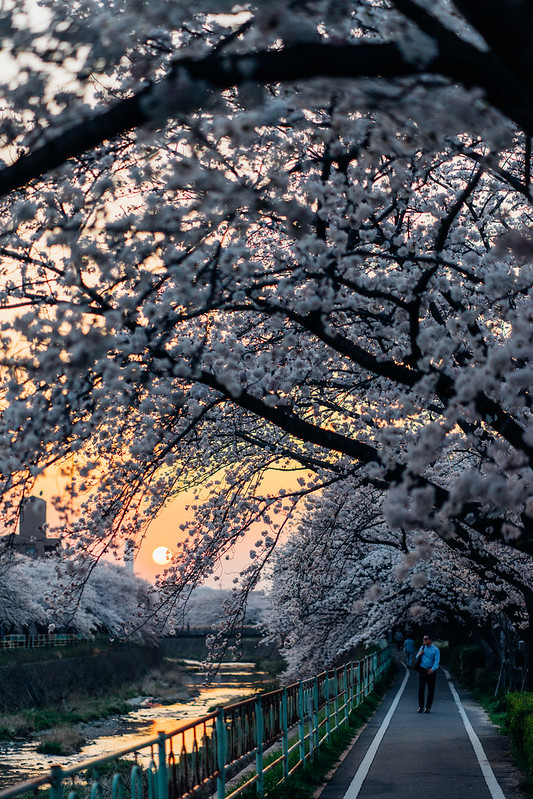 CherryBlossoms_49