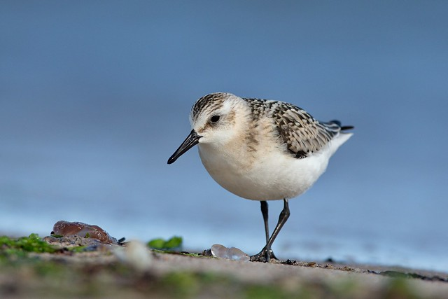 Sanderling, Canon EOS-1D X, Canon EF 600mm f/4L IS