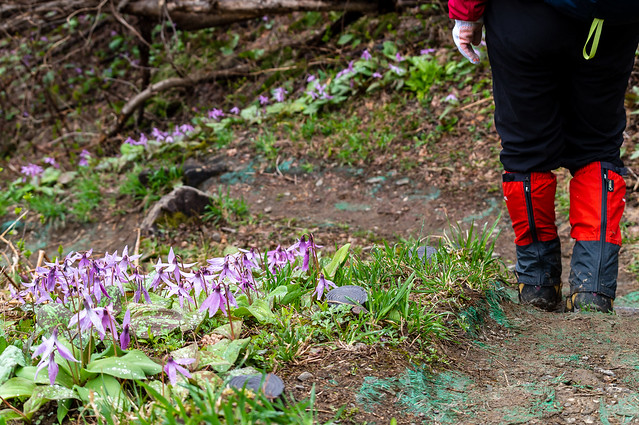 登山道際に絶えることなく咲くカタクリ