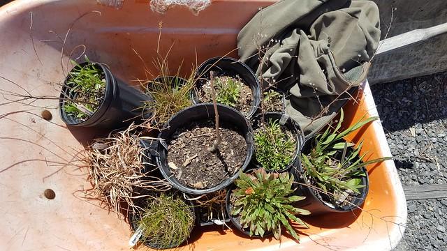 Native Plant Acquisitions, Gowanus Canal Conservancy Plant Sale, April 2018