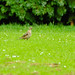 Mistle thrush on ground, Compton Park