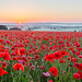 Cotswold poppies by LongLensPhotography.co.uk - Daugirdas Tomas Racys