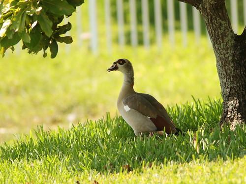 Egyptian Goose 20180620