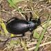 Ground Beetle - Carabus violaceus