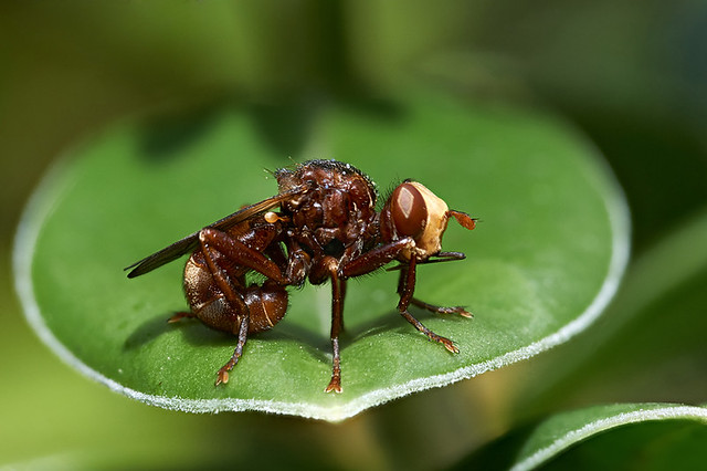 The ultimate ugly fly Sicus ferrugineus #3