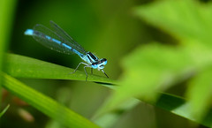 Azure Damselfly (Coenagrion puella) male