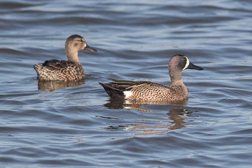 Blue-winged Teal - female and male