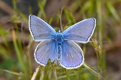 Голубянка Икар, Polyommatus  icarus