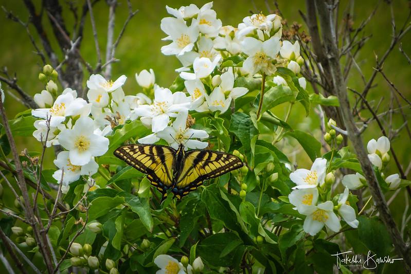 Swallowtail butterfly #2