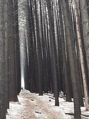 Sugar pine walk Laurel Hill NSW