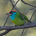 Blue-throated Barbet (Lifer)