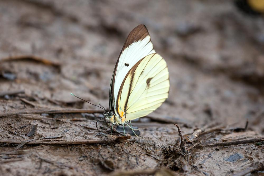 Godart's white (Ganyra phaloe)