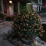 cây kumquat