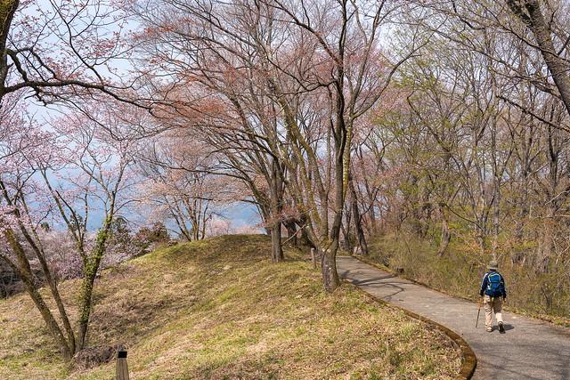 ヤマザクラの歩道@美の山公園